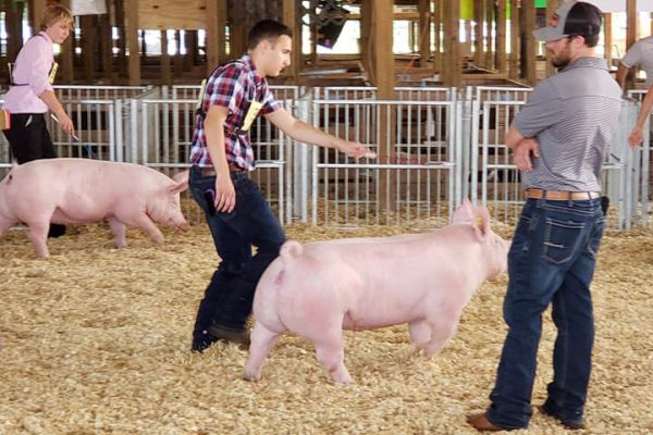Market Swine Show